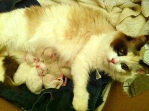 Victoria Ragdoll kittens two hours old